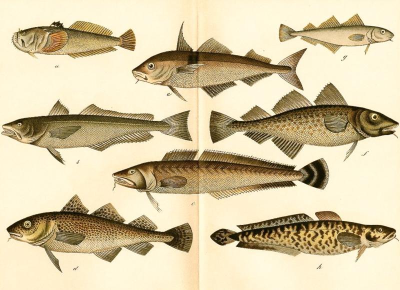 Antique Fish Print