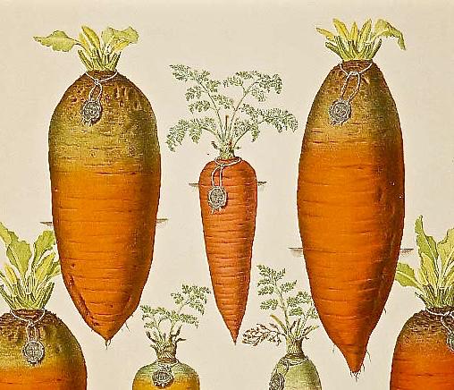 Carrots 5 - 1
