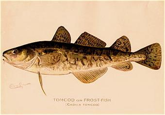 Codfish_2