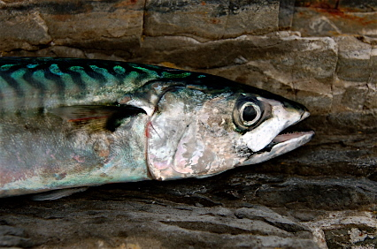 Mackerel_3