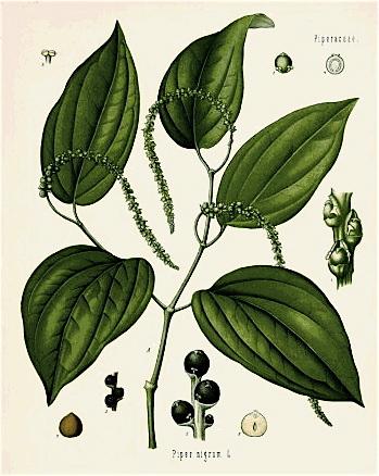 Pepperplant_2
